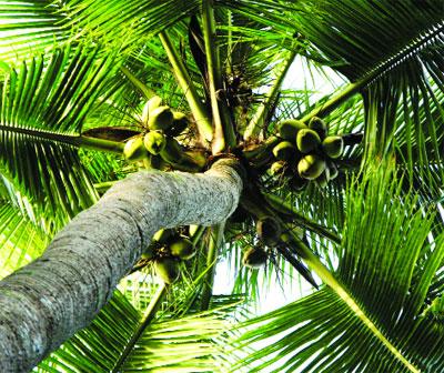 Thuyết minh về cây dừa (Bài văn học sinh giỏi)